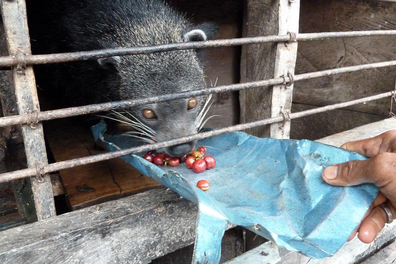 Een civetkat in een kooi.