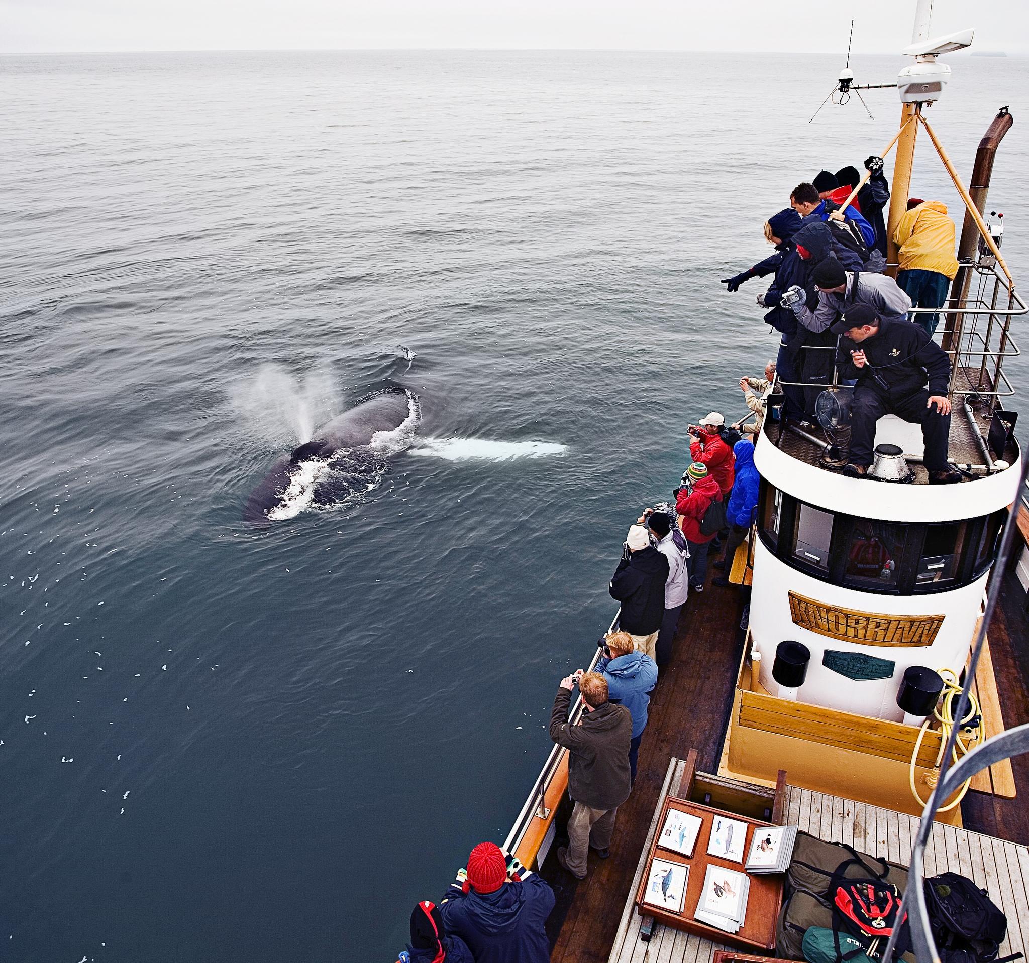 Een walvis in IJsland, gespot vanaf een elektrische boot van North Sailing.