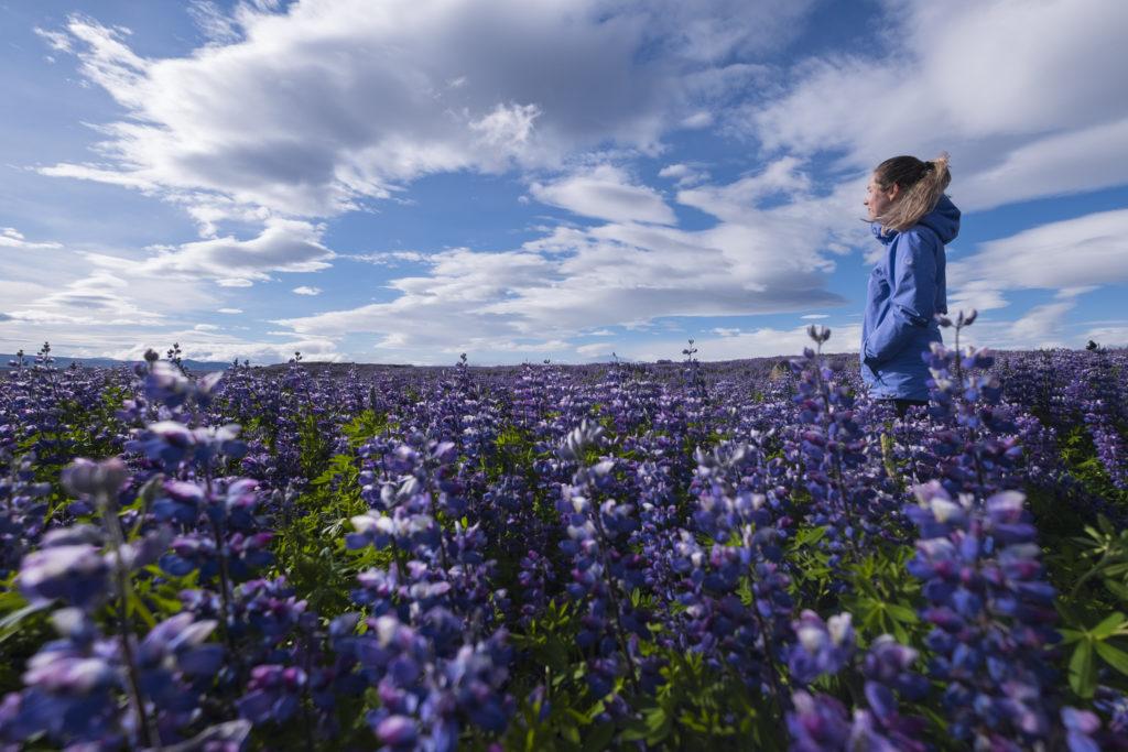 Lupineveld in IJsland