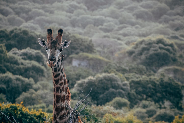 Een giraffe in Somkhanda