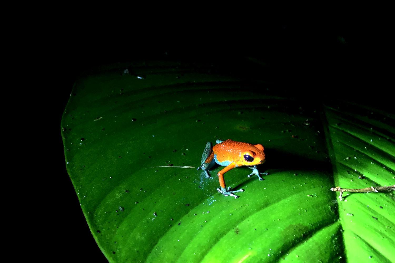 De aardbeikikker, een kleine giftige kikker uit de familie pijl gifkikkers.